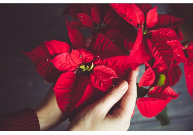 Legends about the chistmas flower (Poinsettia)