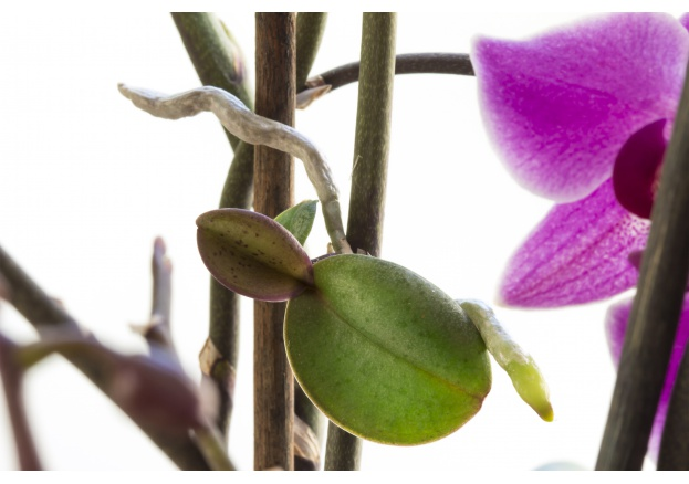 How to propagate the orchid: the keikis